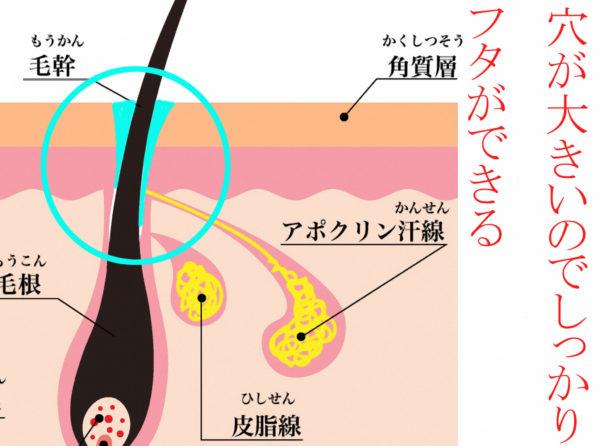 アポクリン腺のフタ