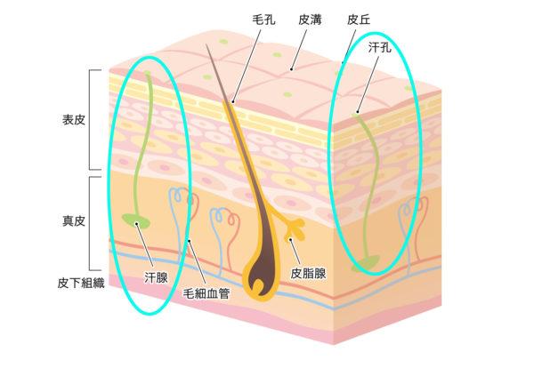 皮膚イラストエクリン腺
