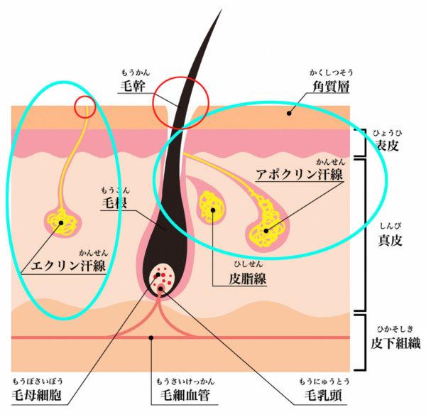 エクリン腺・アポクリン腺 説明画像