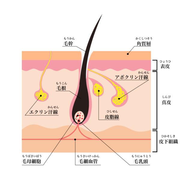 エクリン腺・アポクリン腺のイラスト